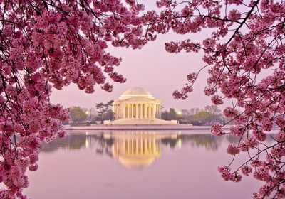 Cherry Blossoms in Washington D.C., Chaparral Style