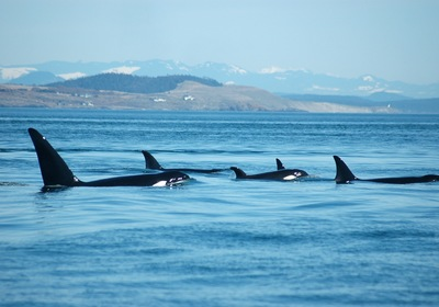 Have A Whale of a Time off the San Juan Islands